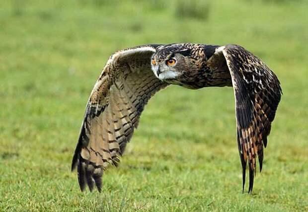 Филин и сова: различия в повадках и образе жизни
