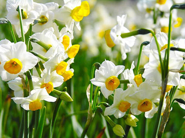 весенний цветок - нарцис