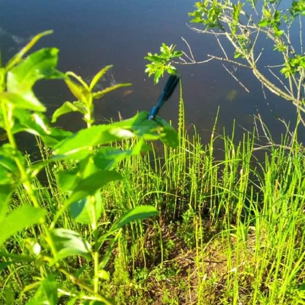 На набережной Москвы-реки замечены голубые стрекозы