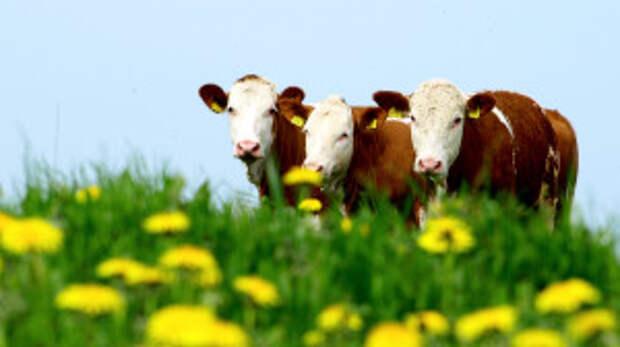 Бои-Молоко содержит больше Омега-3