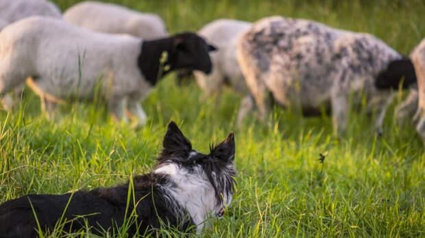 Бордер-колли пасли овец на шотландских пастбищах с 16 века