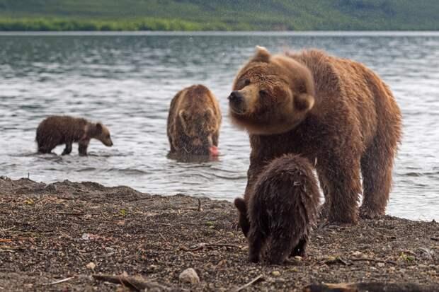 Медведицы держатся вблизи людей, чтобы спасти детенышей