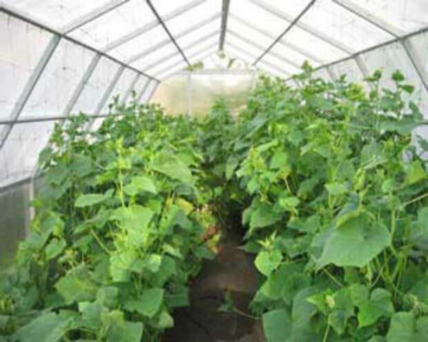 Лучшие сорта огурцов для теплиц из поликарбоната — как выбрать  самые урожайные?
