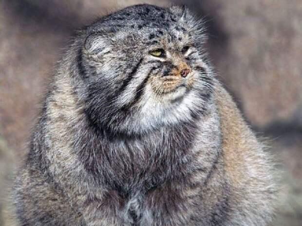 В горах Алтая сняли редчайшее видео с котятами манула