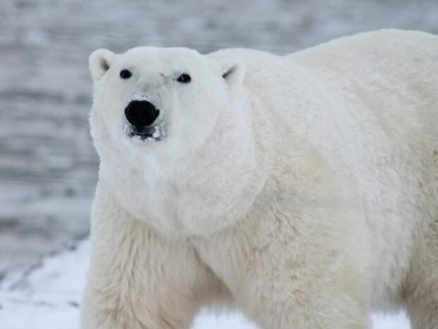 В Якутии нахальный белый медведь похитил удочки у рыбака
