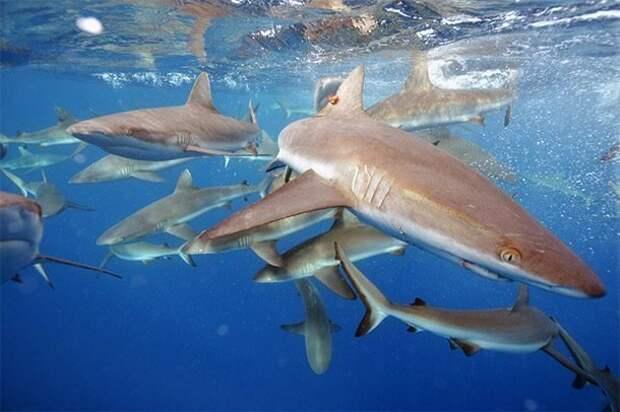 Жертвоприношение акулам акулы, факты, хищники
