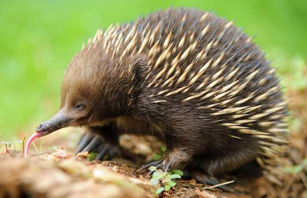 Удивительное животное - ехидна. Несет яйца как птицы. Носит детенышей как  кенгуру. Очень сильное, но без зубов | Заметки натуралиста-садовода |  Яндекс Дзен