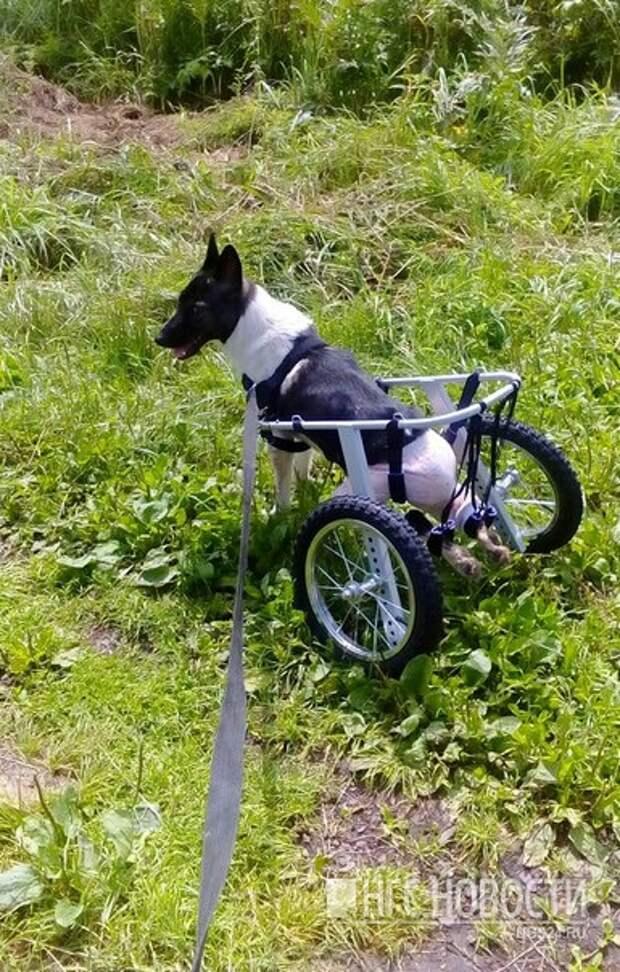Чтобы пес мог передвигаться, ему подобрали специальную колясочку