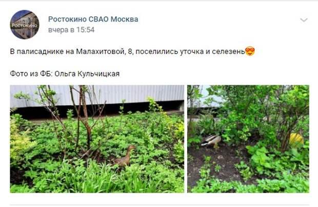 Фото дня: уточка и селезень поселились во дворе на Малахитовой