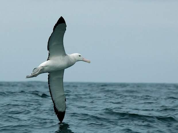 Странствующий-альбатрос-Описание-и-образ-жизни-странствующего-альбатроса-1