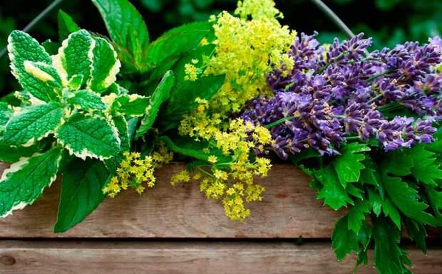 Лекарственные растения из сада
