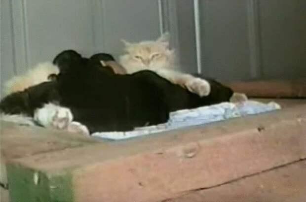Кошка потеряв котят, отдала всю свою любовь брошенным щенкам