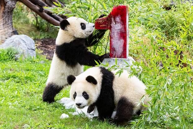 Первый день рождения отметили немецкие панды-близнецы