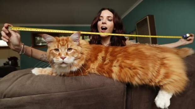 Огромный кот Омар породы мейн-кун набирает популярность в Интернете
