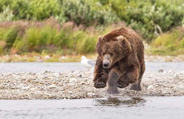 Невероятный полет медведя во время охоты на лосося