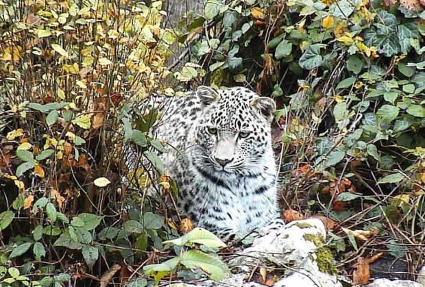 В Сочи на волю выпускают детенышей леопарда