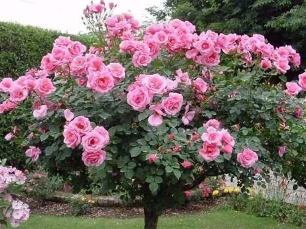 Формирование розы в штамб
