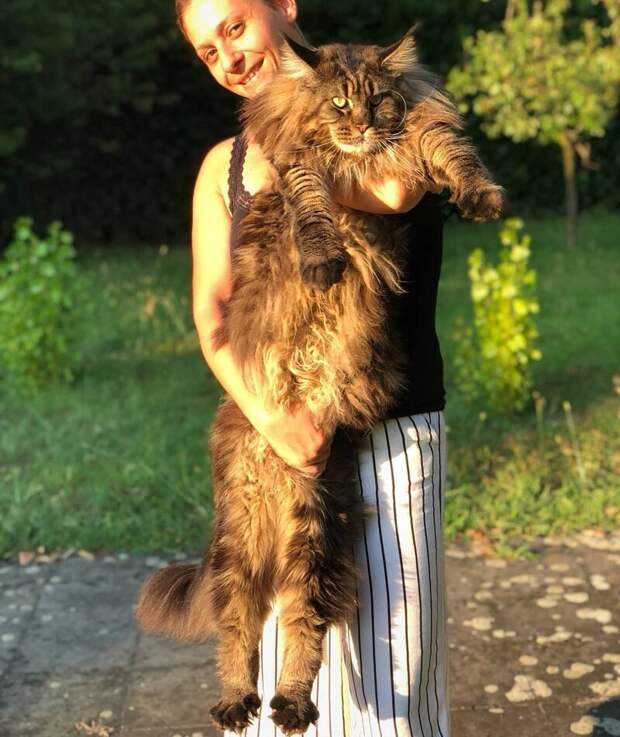 Кстати, Баривелю всего три года, а мейн-куны растут до четырёх длина, домашний питомец, животные, кот, красавчик, милота, рекорд гиннесса