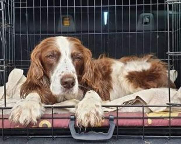 Чтобы старенький пес не чувствовал себя одиноко, хозяева по очереди с ним спят