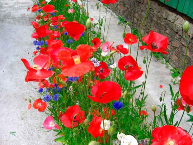 Многолетний садовый цветок Мак (Papaver)
