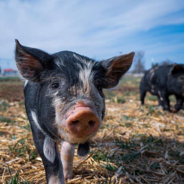 В Динском районе нашли мясо с вирусом африканской чумы свиней