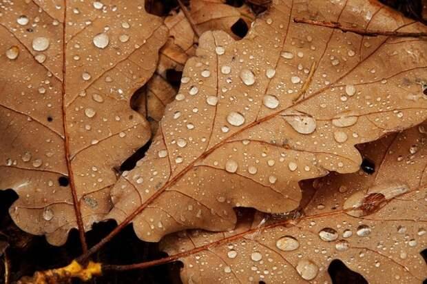 Дубовая листва подходит для укрытия растений