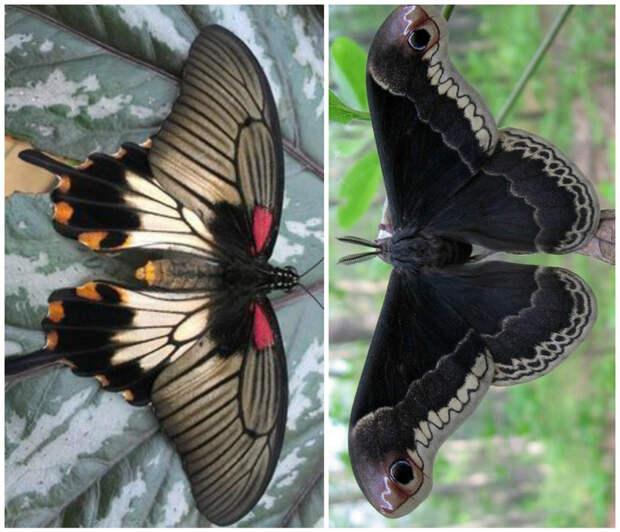 Бабочка Красный адмирал (и еще некоторые виды) питаются навозом и гниющими фруктами бабочки, интересное, красота, насекомые