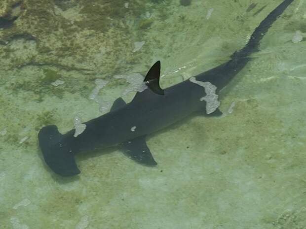 Мягкая как желе акулы, факты, хищники