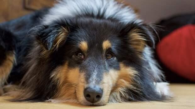 Депрессия хозяина может повлиять на длительность стресса у собак