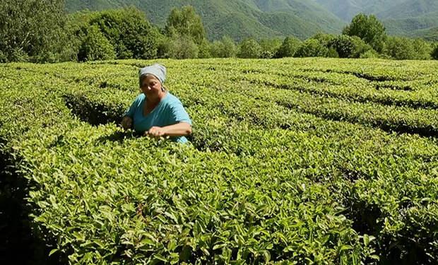 Как зарабатывают на сборе чая в Краснодарском крае и отдыхают бесплатно: туристка поделилась опытом
