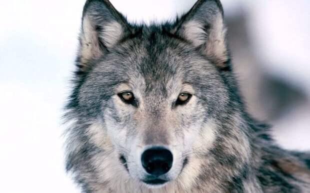 Почему волки воют на Луну?