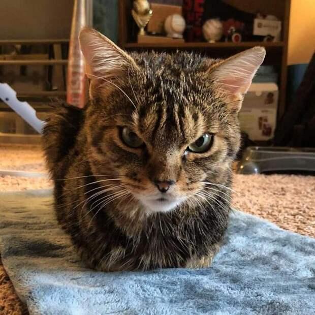 Кот с добрым сердцем, который выглядит как отъявленная злюка