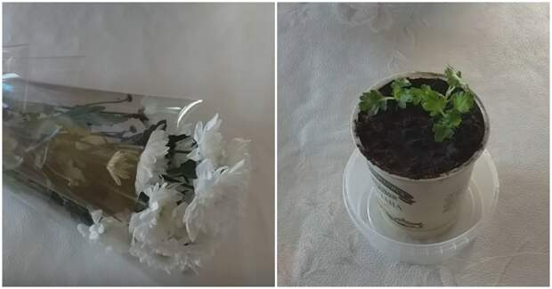 Как укоренить хризантему из букета. Простой и работающий способ
