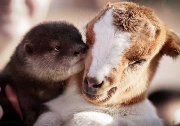 Выдра и козленок - дружба.... животные, коты, милота