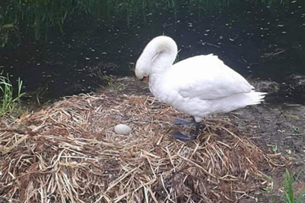 Лебедь лишилась самца и нерожденных лебедят и не смогла жить от горя
