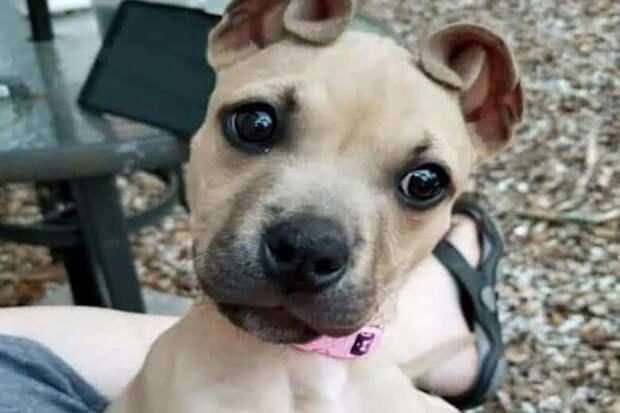 Мой щенок подрос, и у него выросли очень необычные уши.