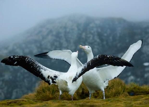 Странствующий-альбатрос-Описание-и-образ-жизни-странствующего-альбатроса-4