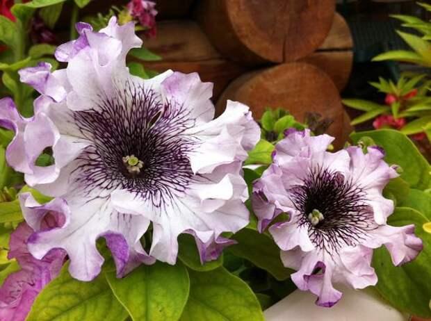 Петунии супербриссима имеют очень крупные эффектные цветки с сильно гофрированными лепестками. Фото с сайта gallery.ykt.ru