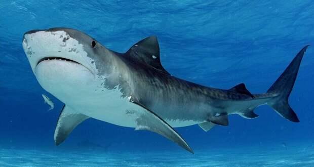 Почему акула выплевывает свой желудок