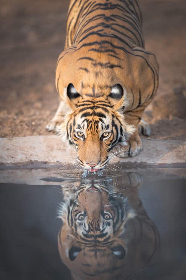 Зачем тиграм на ушах ложные «глаза»
