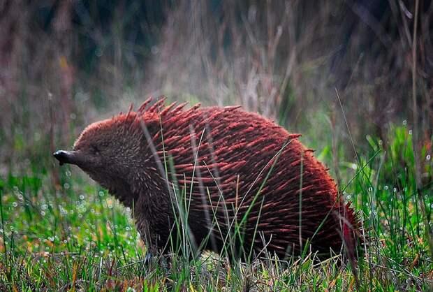 Ехидна - одно из самых странных млекопитающих в мире