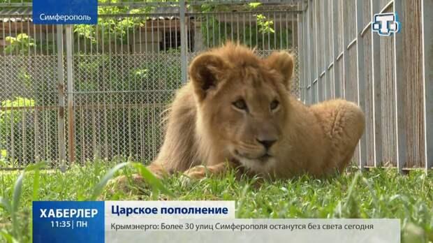 Два африканских львенка появились в зоопарке Симферополя