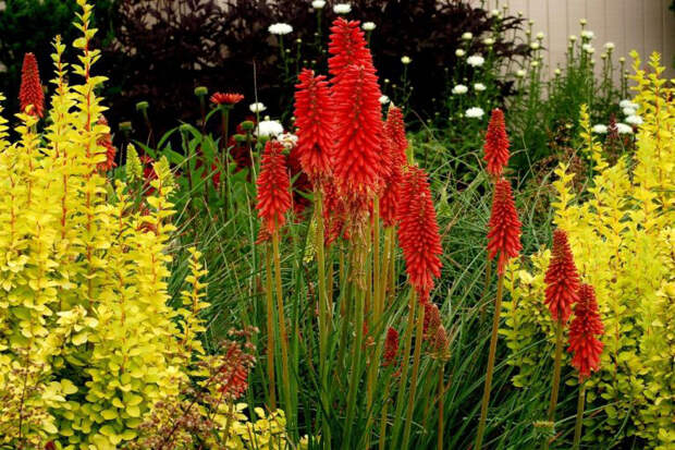 Многолетний садовый цветок Книфофия (Kniphofia)