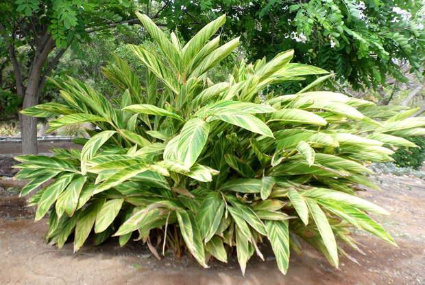 Комнатное растение Альпиния (Alpinia)