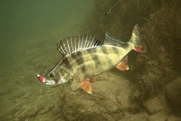 Речные окуни относятся к рыбам с ганоидной чешуей. Их чешуйчатое одеяние почти вросло в кожу и имеет зубчатое строение, поэтому рыба на ощупь кажется шероховатой.