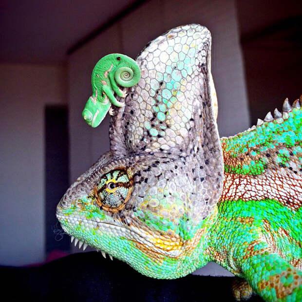 cute-baby-chameleons-70-5835e83d148d6__700