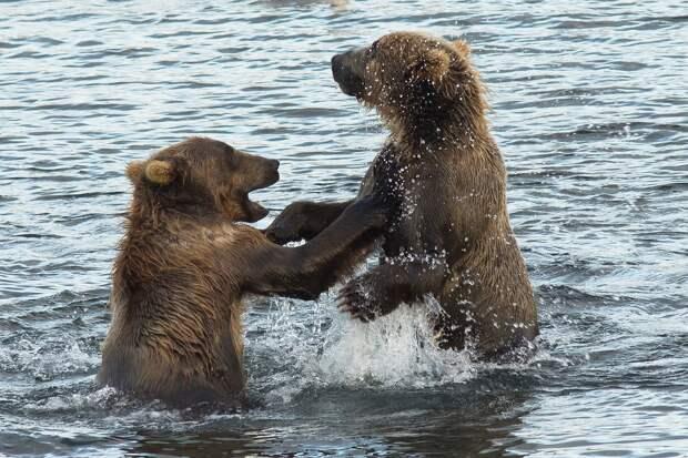На Сахалине сняли на видео играющих в море медвежат
