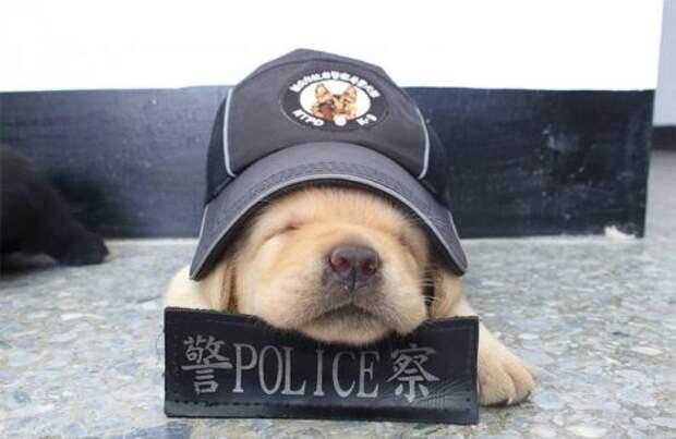Очаровательное щенячье пополнение в полицейском подразделении К-9 Тайваня
