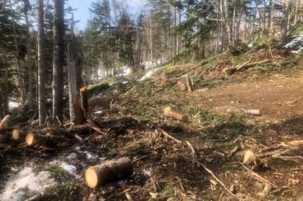 В Красноярске экс-чиновник подозревается в вырубке леса на 110 млн рублей