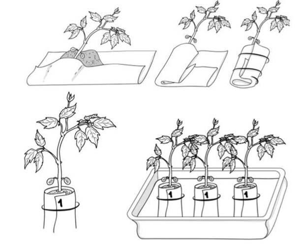 Пикировка рассады в пеленку из пленки при 2-3 настоящих листьях